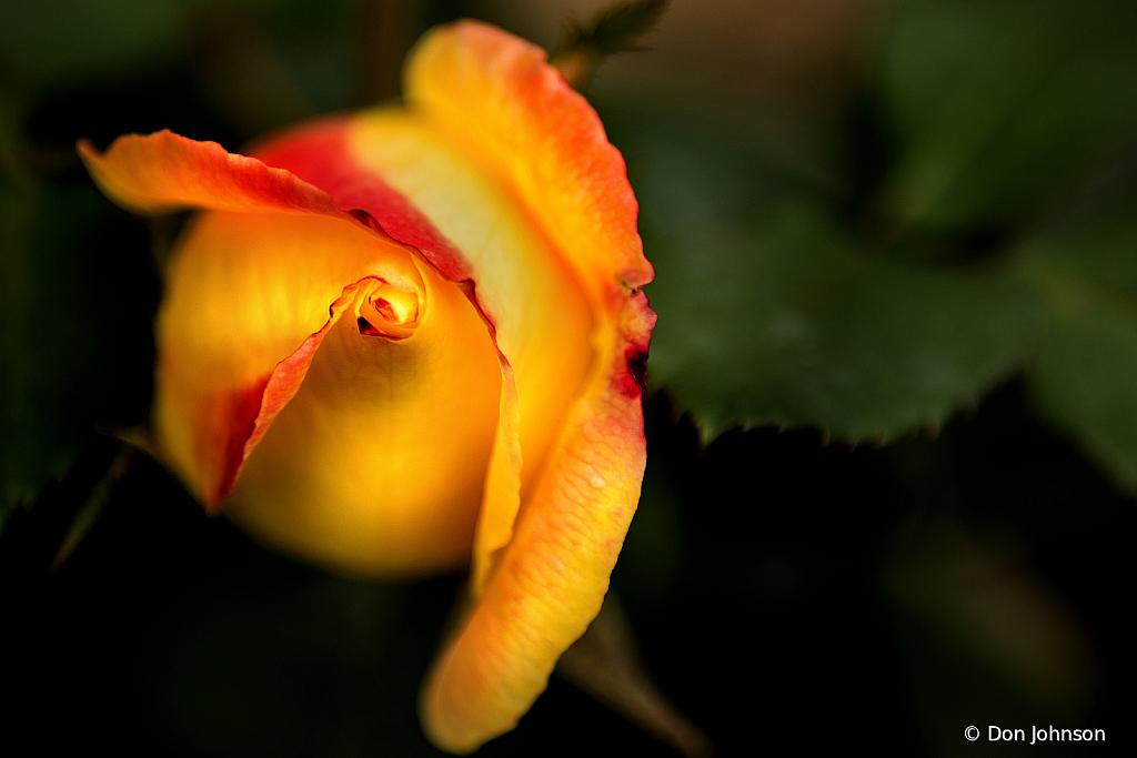 Rose Straight On 10-12-19 419