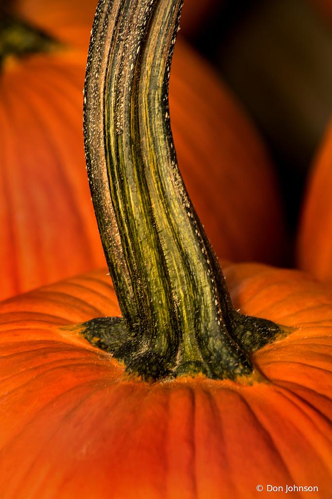 Pumpkin Stem 10-4-19 227