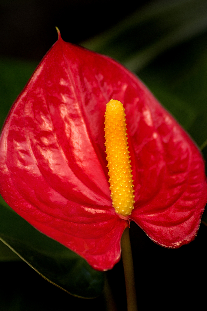 Anthurium Red