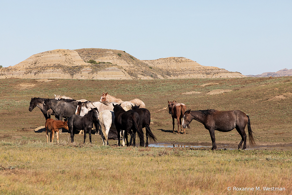 2019 Wild Horse herd