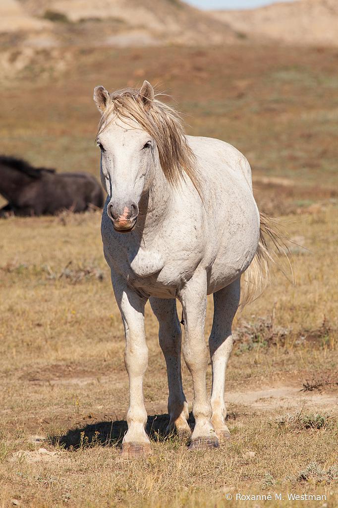 Wild stallion white 2019