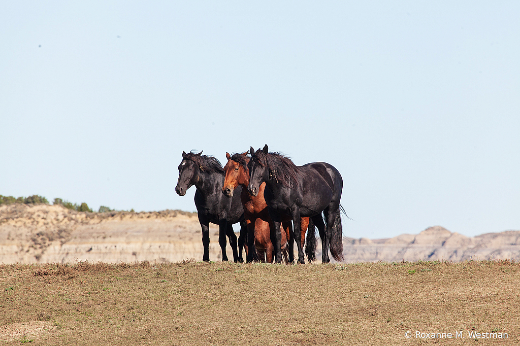 Standing guard wild horses