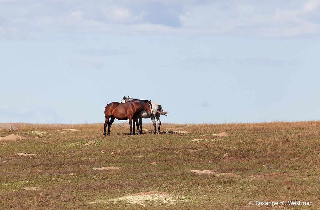 Wild horses 6 2019
