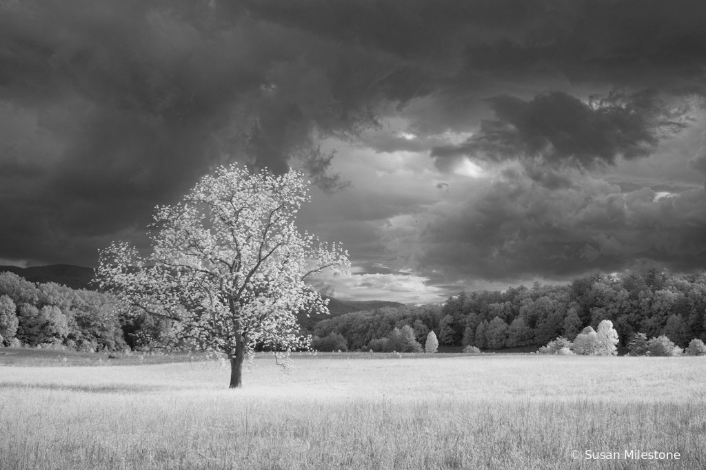 Cades Cove Infrared Tree 8005