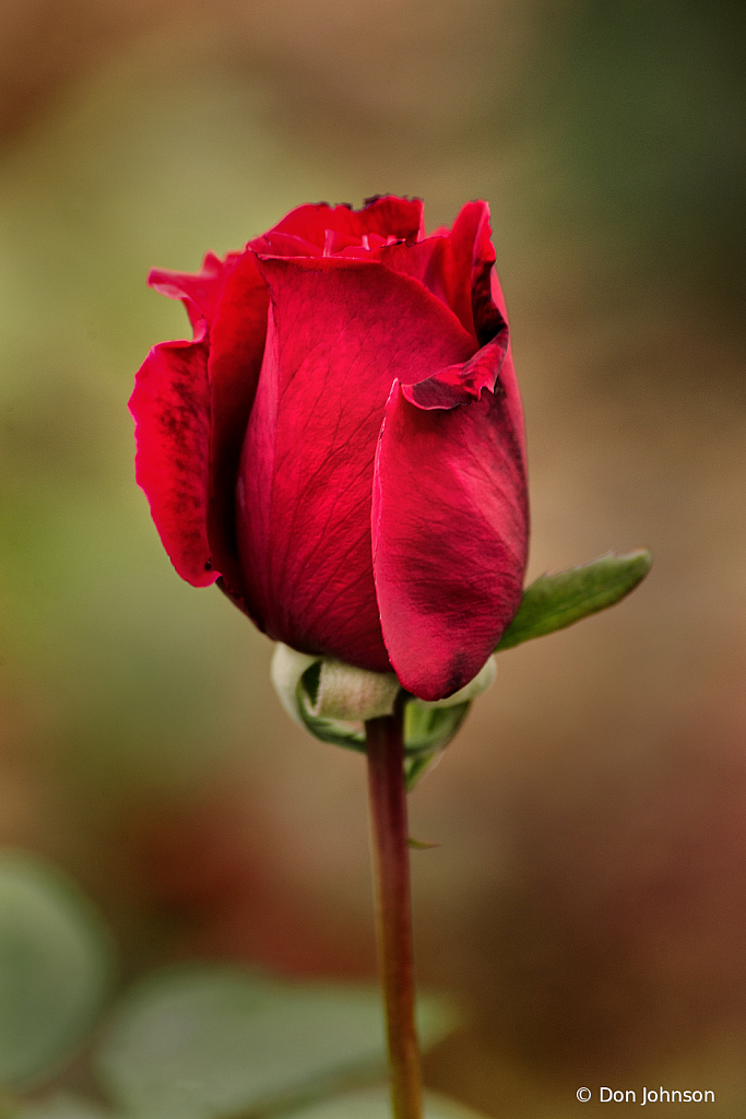 A Red Rose Bud 10-12-19