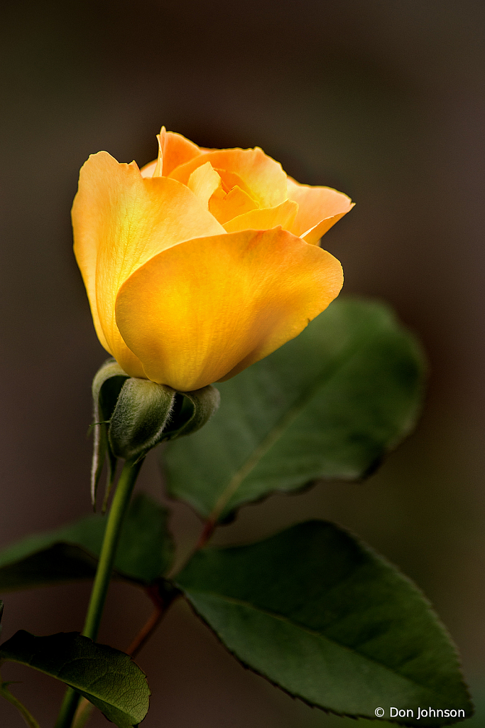 Yellow Rose of MD