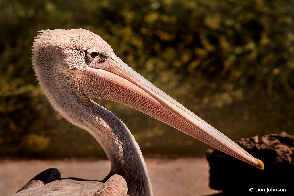 Big Pelican 10-5-19 264