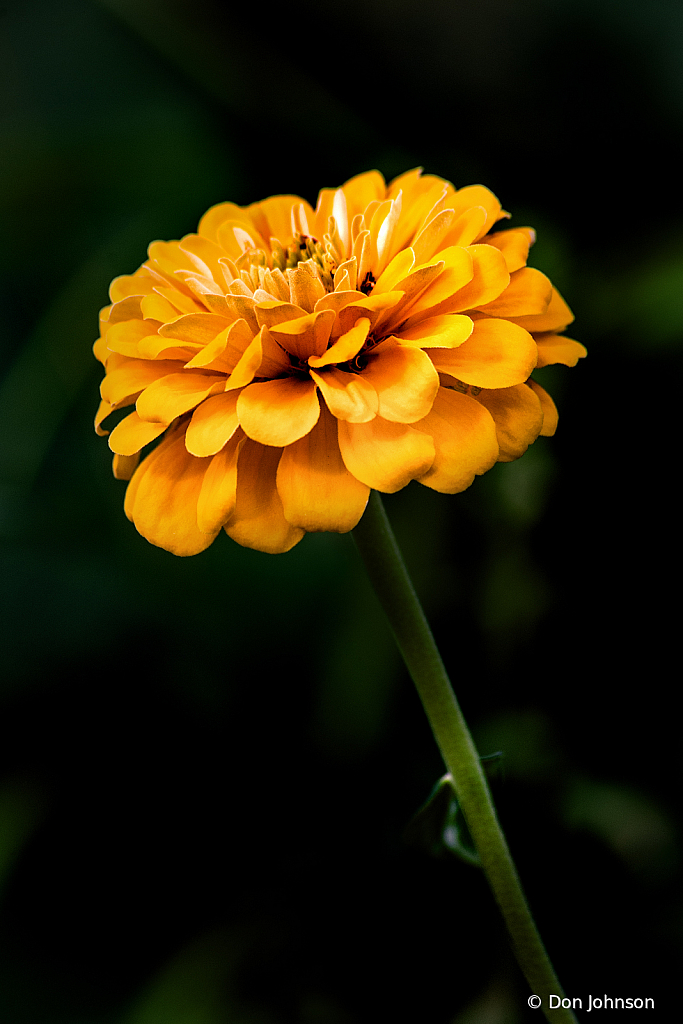 Yellow Zinnia Profile 10-12-19 137