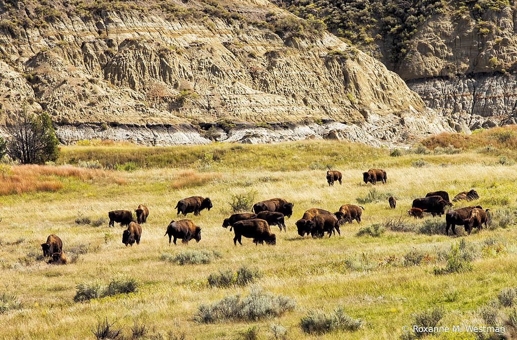 Bison in the Theodore Roosevelt National Park