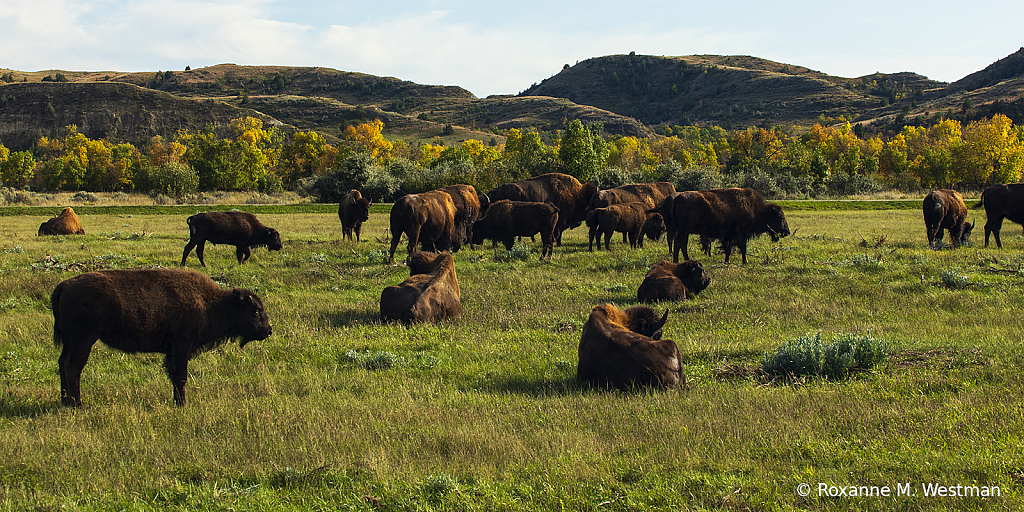 Bison herd in the TRNP in the autumn