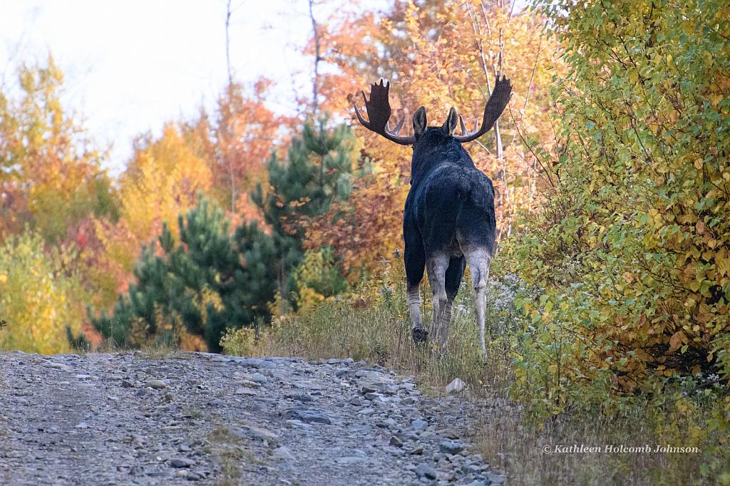 One Big Beautiful Moose!