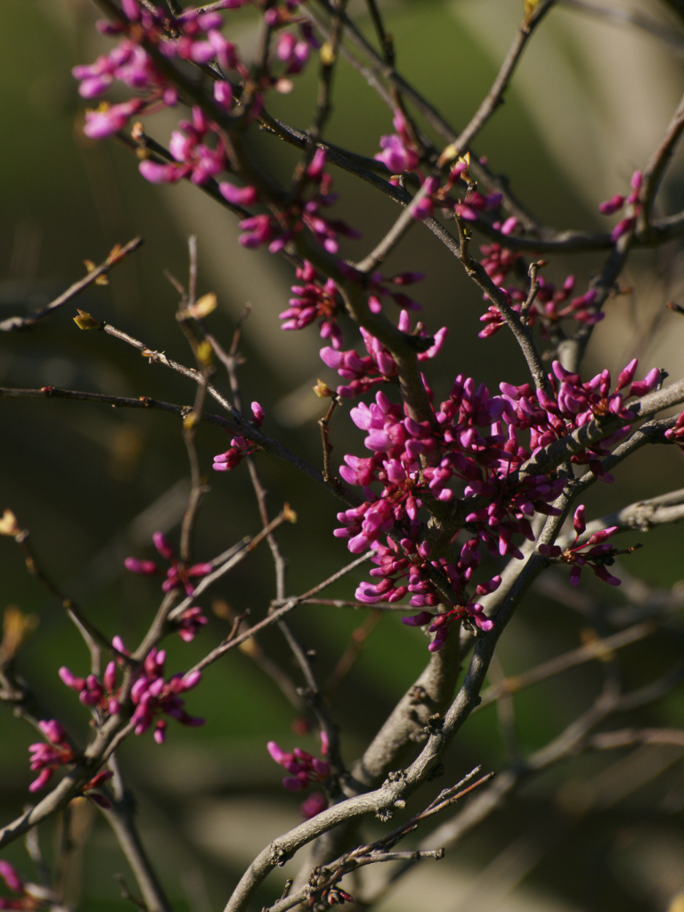 Buds On A Redbud Tree