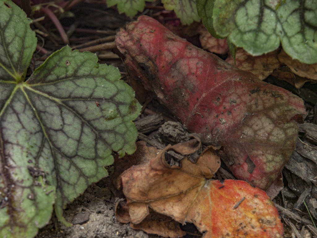 Heuchera Leaves In Fall