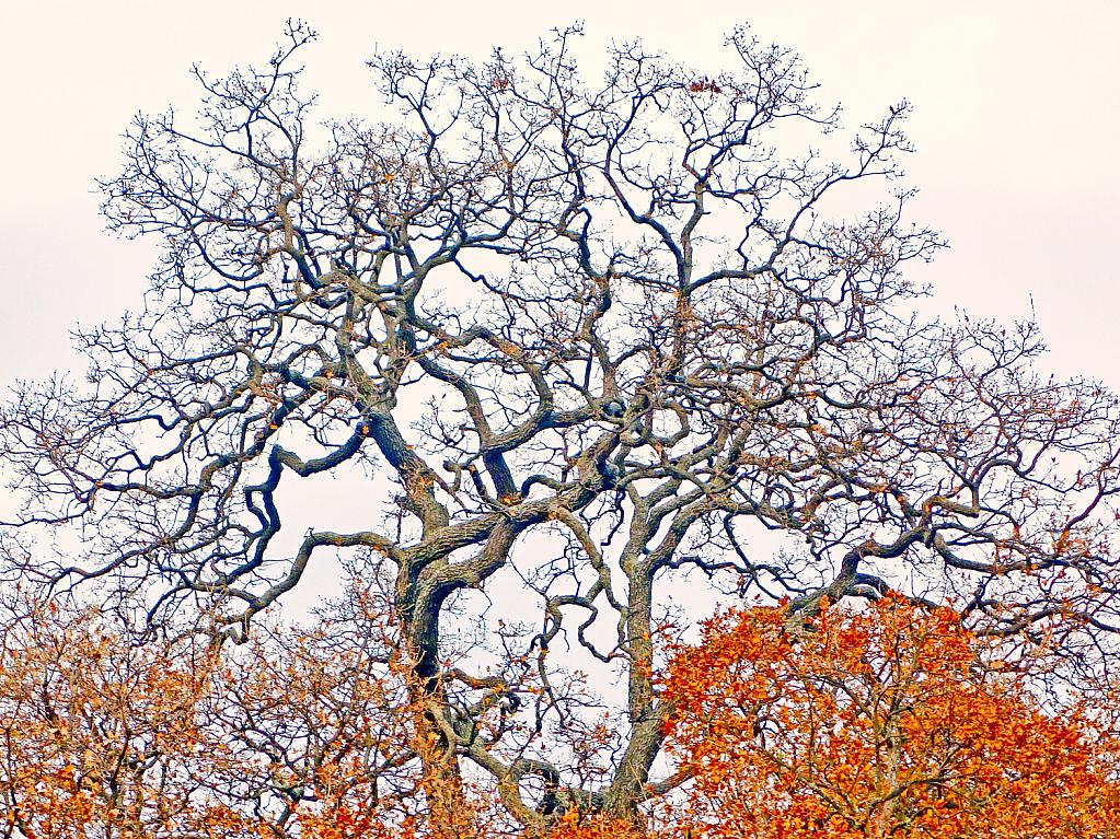 Top of a giant Oak tree.