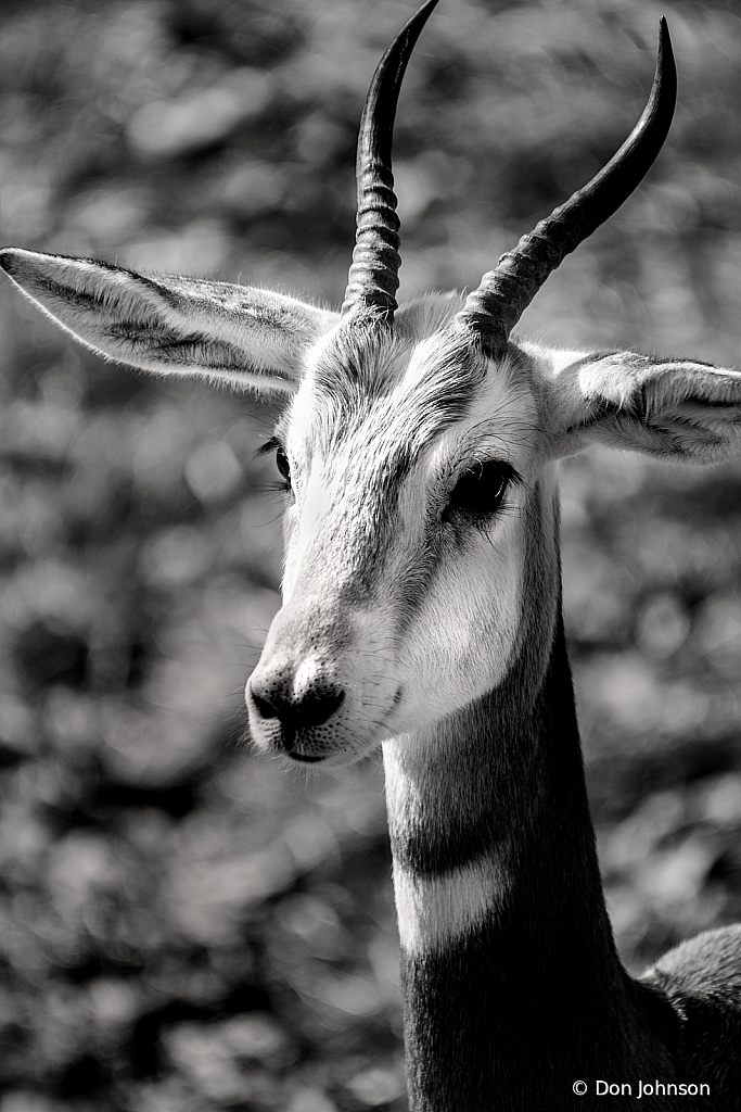B&W Addra Gazelle 2-3-20 196