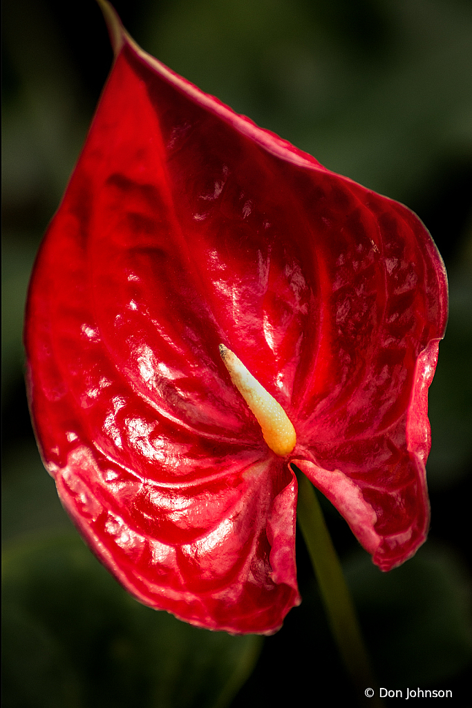Anthurium Red 1-30-20 296