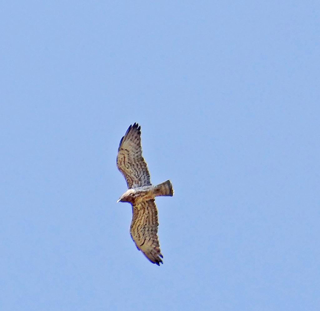 Hawk rushing...