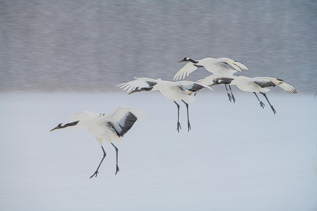 Red Crowned Cranes Landing in the Snow