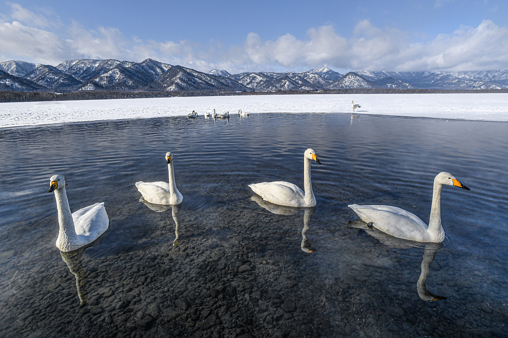 Four Whooper Swans