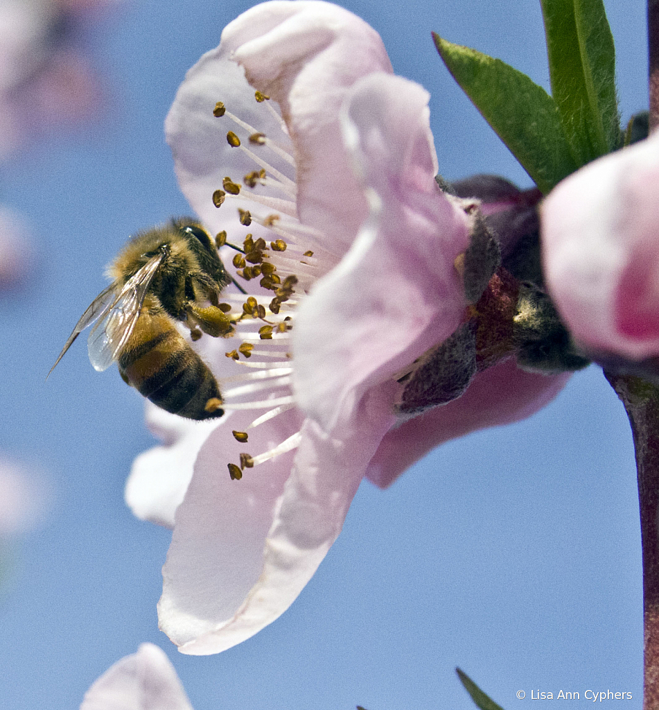 pollinating on the Blossom Trail