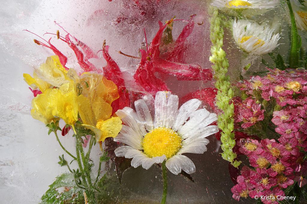 Daisy, bee balm, and nemesia in ice