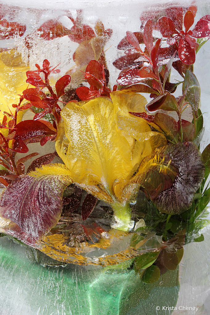 Yellow iris and barberry in ice