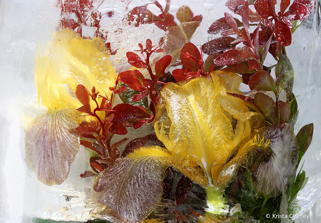 Yellow irises and barberry in ice