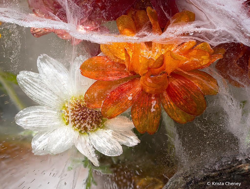 Orange and white zinnias in ice