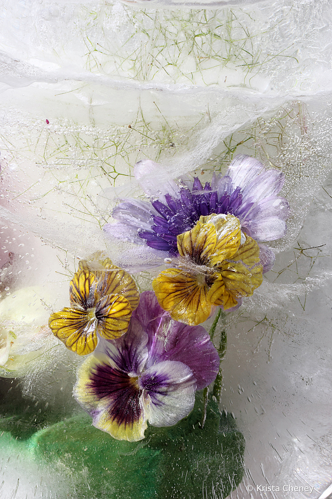 Pansy and violas in ice