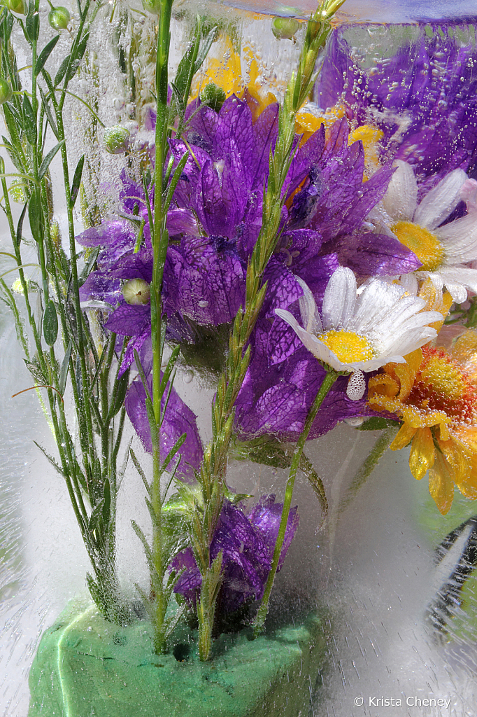 Bellflower and daisies in ice
