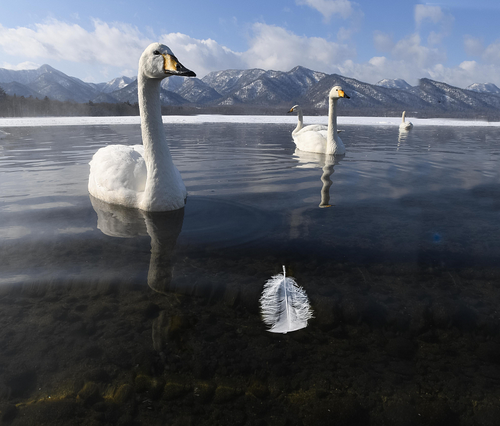 Whooper Swan and Feather