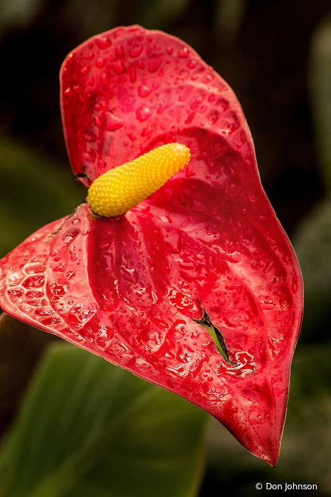 Glorious Anthurium 2-24-20 326