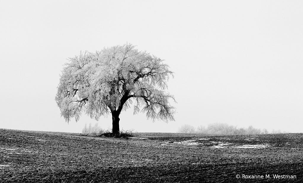 Lone tree in hoarfrost