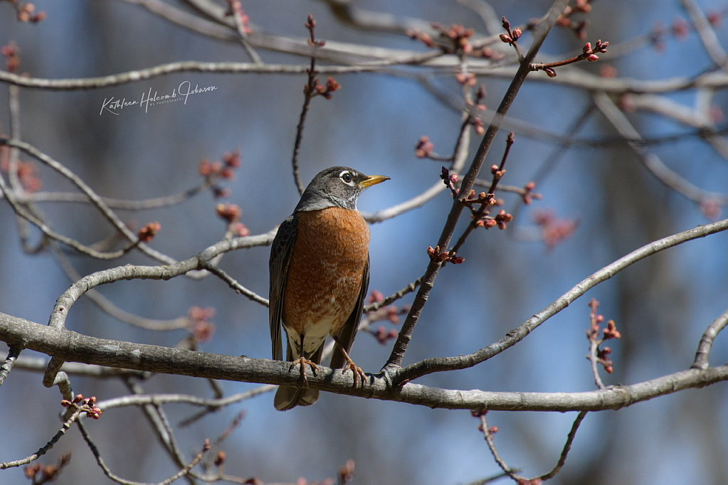 Robin Shows Up For Spring!