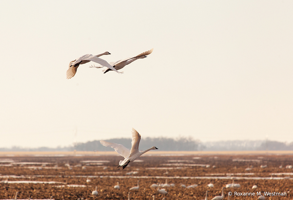 Mini-assignment  Spring migration of swans