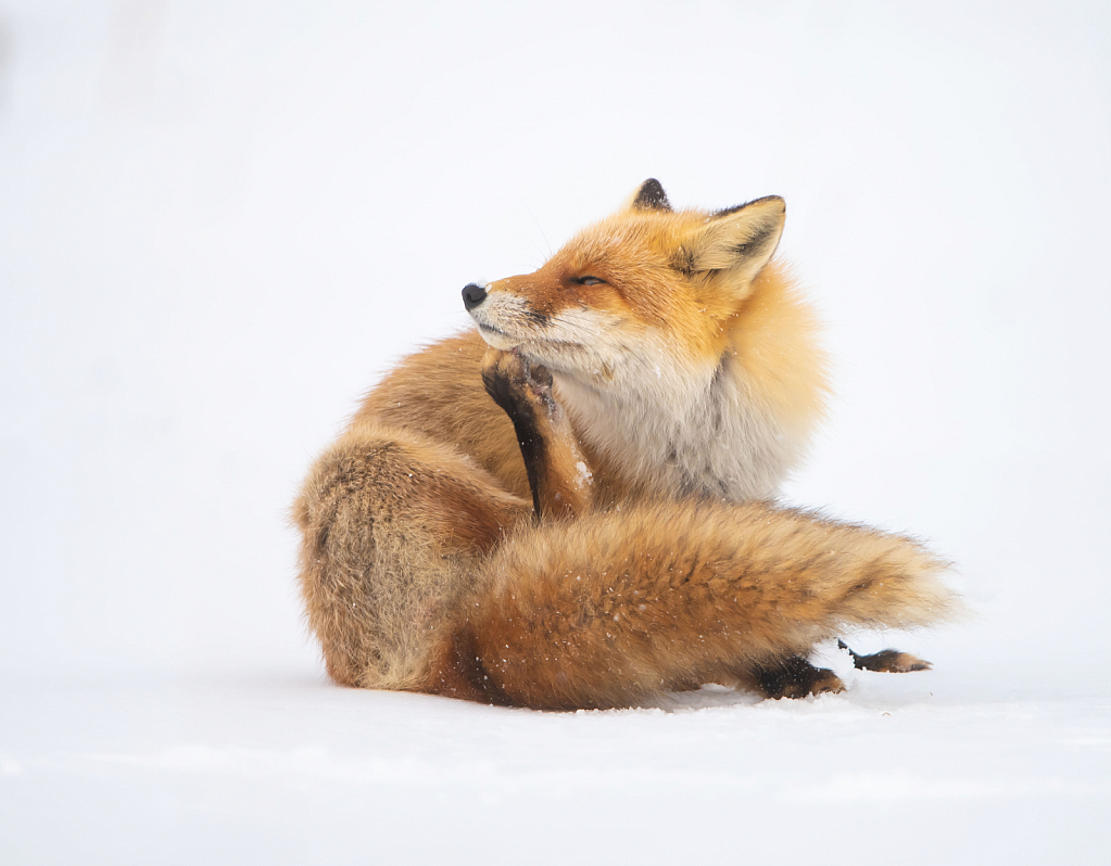 Red Fox Contemplating the State of the World