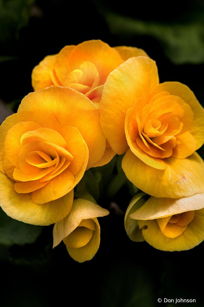 Yellow Begonia 4-5-20 182