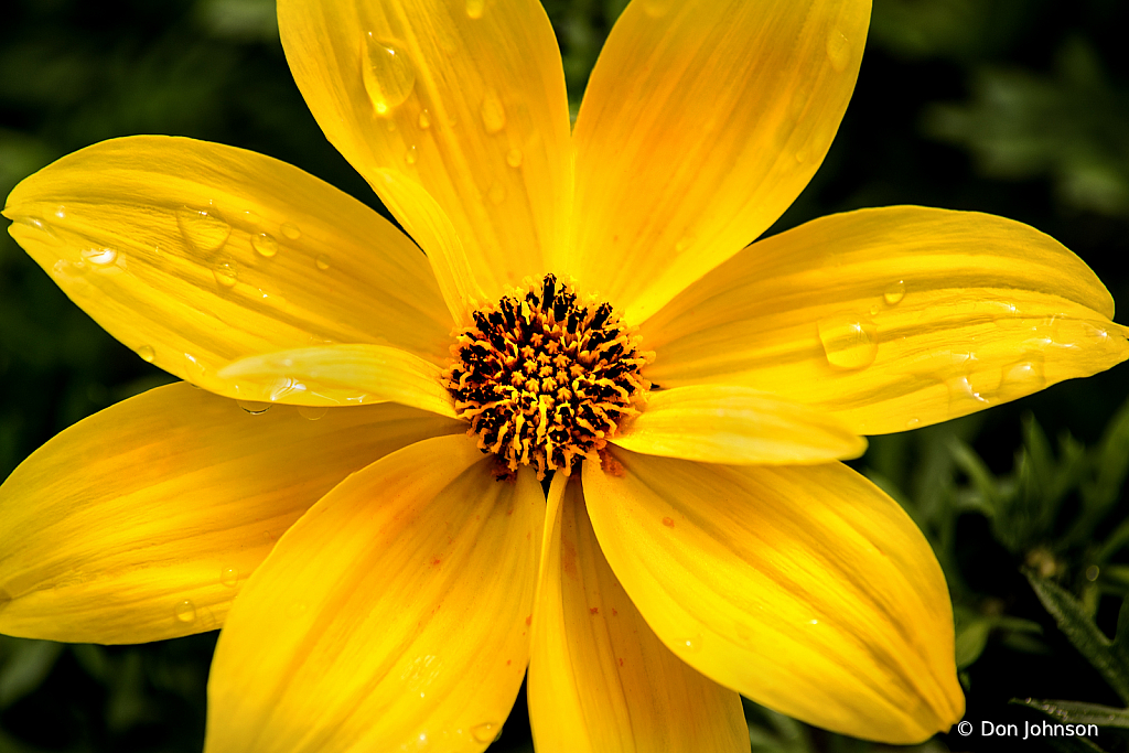 Goldilocks Rocks Daisy 4-5-20 369