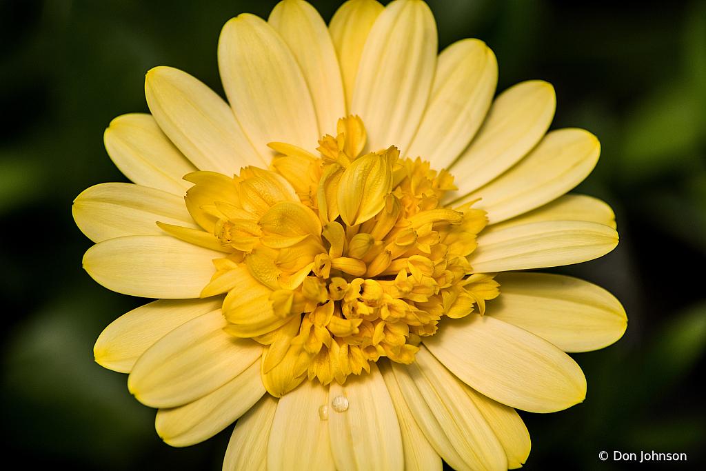 Osteospermum African Daisy 4-5-20 301