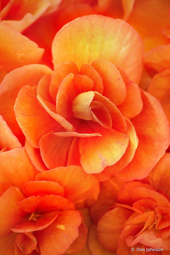 Begonia Petals 3-22-20 059