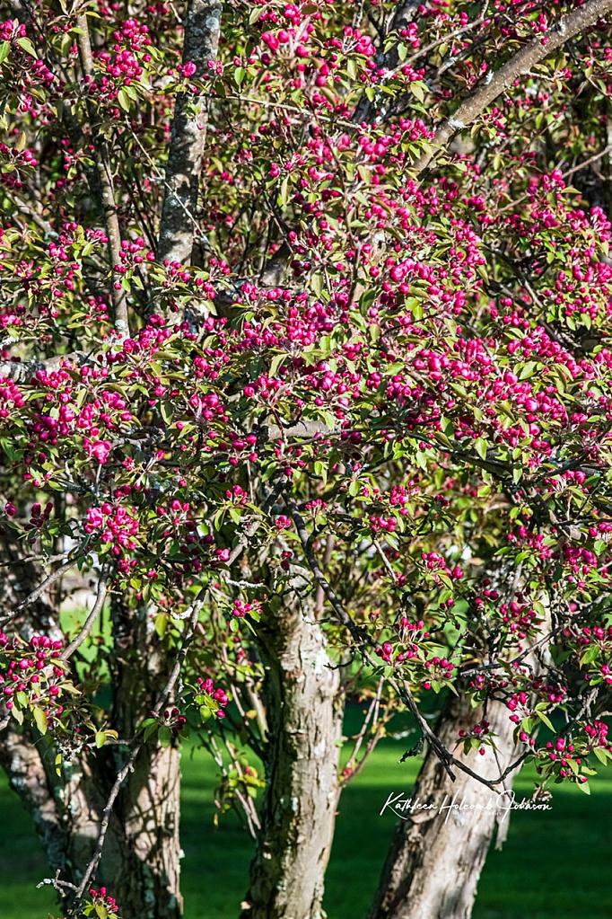 Apple Tree In Spring!