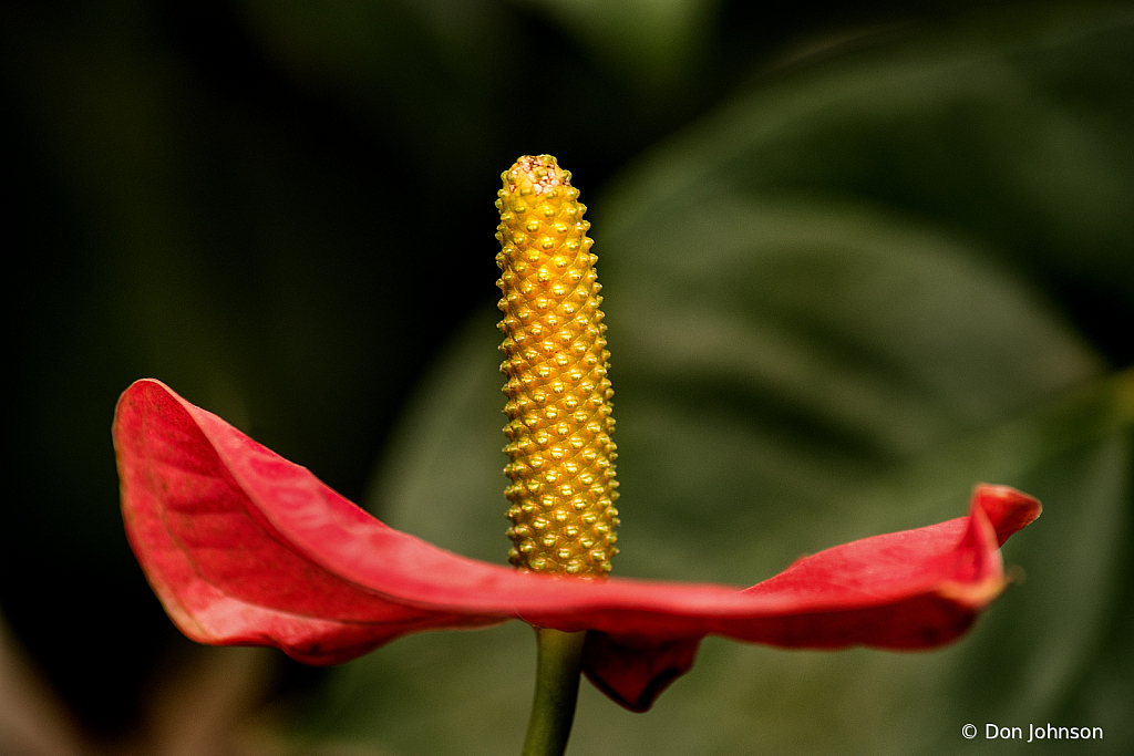 Anthurium from the Side 4-5-20 139