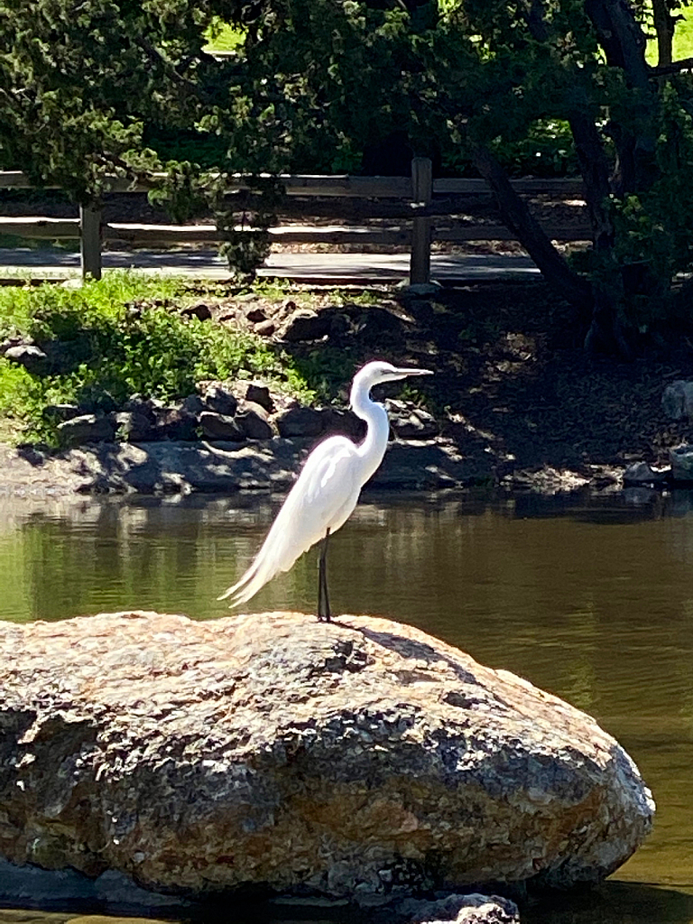 Sunday's Surprise Egret