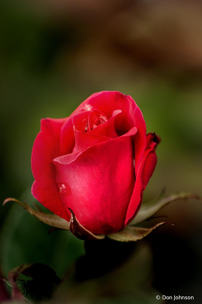 Lovely Red Rose 4-25-20 212
