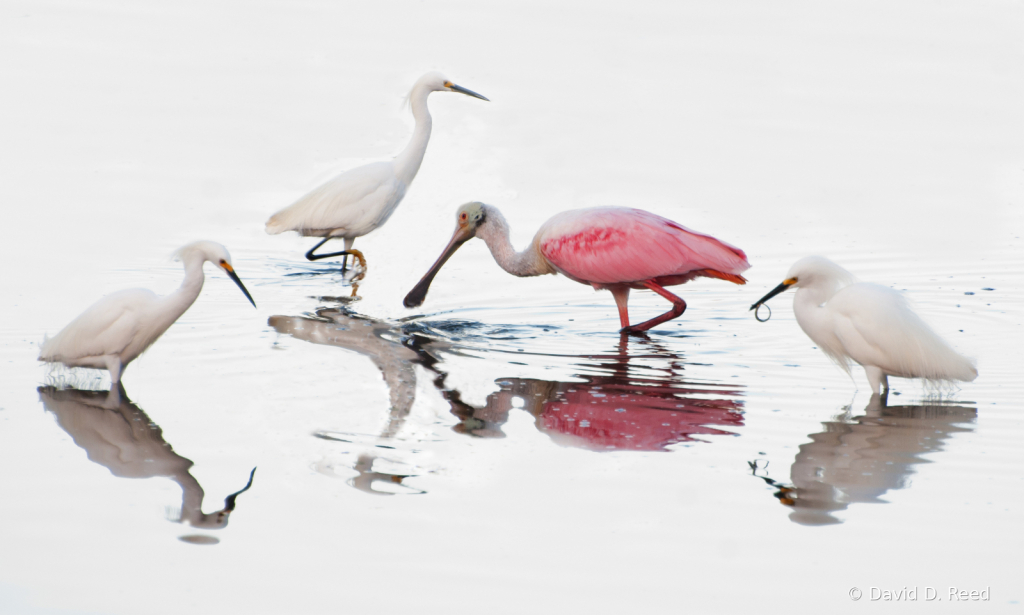 Spoonbill Crashes the Party
