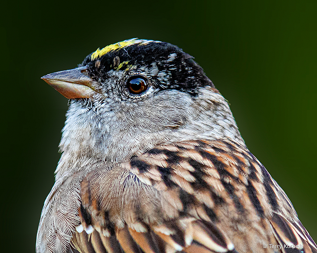 Golden-crowned Sparrow Head Shot
