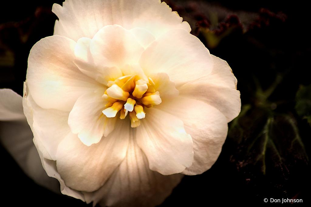 White Begonia 4-5-20 157