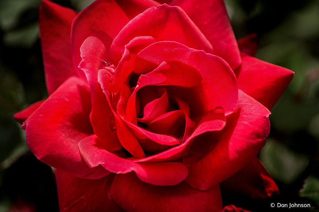 Red Red Rose 4-25-20 229