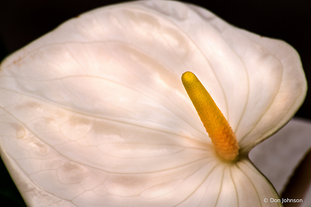 White Anthurium Macro 4-25-20 114
