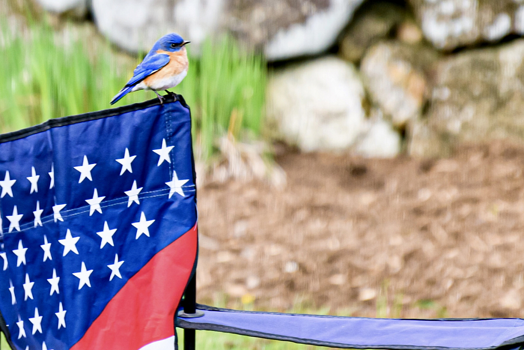 Patriotic Bluebird!